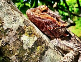 Avoid Bearded Dragons Sickness and Health issues With Couple of Tips