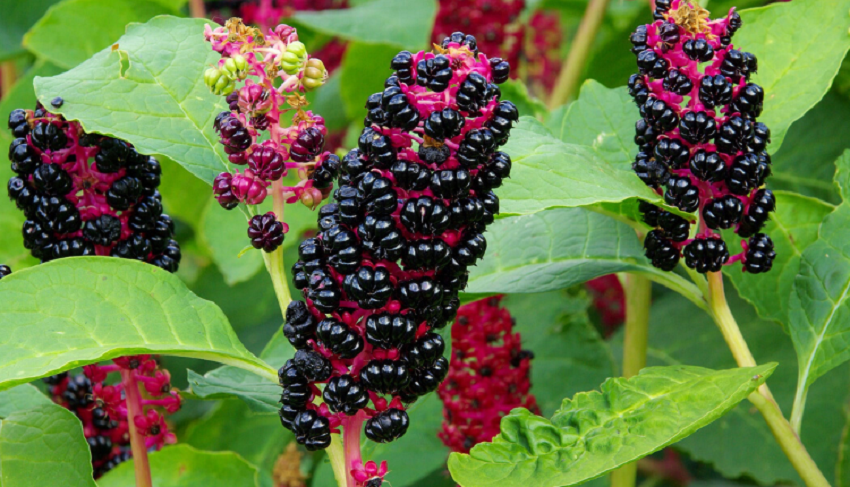 get rid of pokeweed