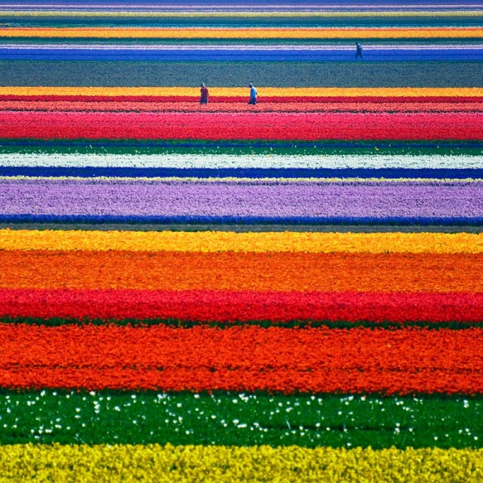 Fields of Dutch tulips